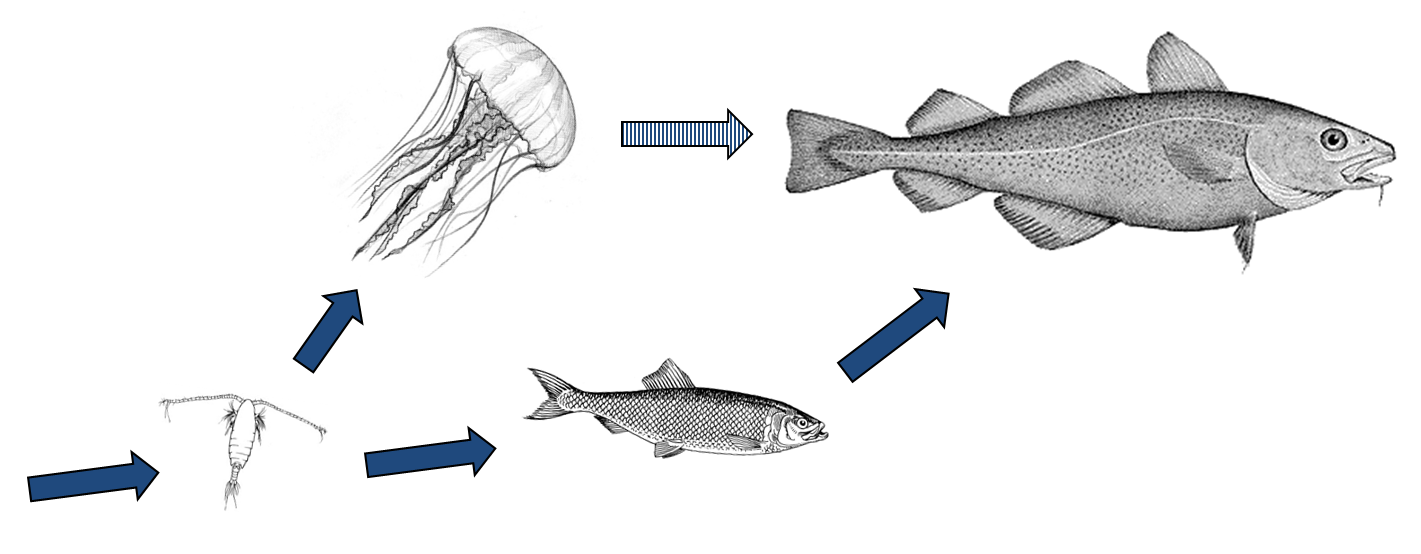 Simple food web containing fish and jellyfish, a copepod and a predatory fish. Copepod illustration from: Ohman, M.D., Drits, A.V., Clarke, M.E., and Plourde, S. (1998) Differential dormancy of co-occurring copepods. Deep-Sea Research II 45: 1709-1740. Cod illustration by H. L. Todd, from George Brown Goode, The Fisheries and Fishery Industry of the United States, (Washington, D.C.: Washington Government Printing Office, 1884), plate 58A.